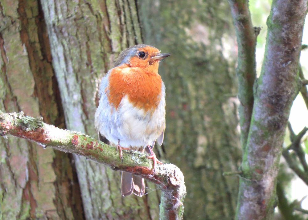 Robin79