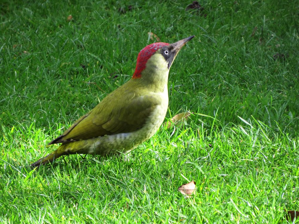 GreenWoodpecker32