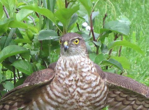 Sparrowhawk43a