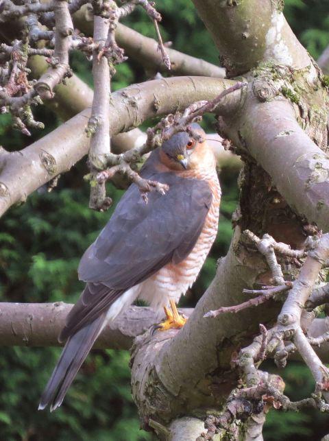 Sparrowhawk48