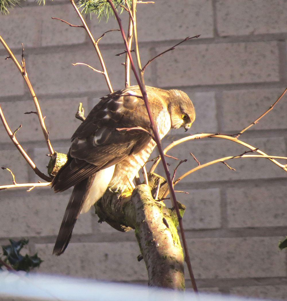 Sparrowhawk49