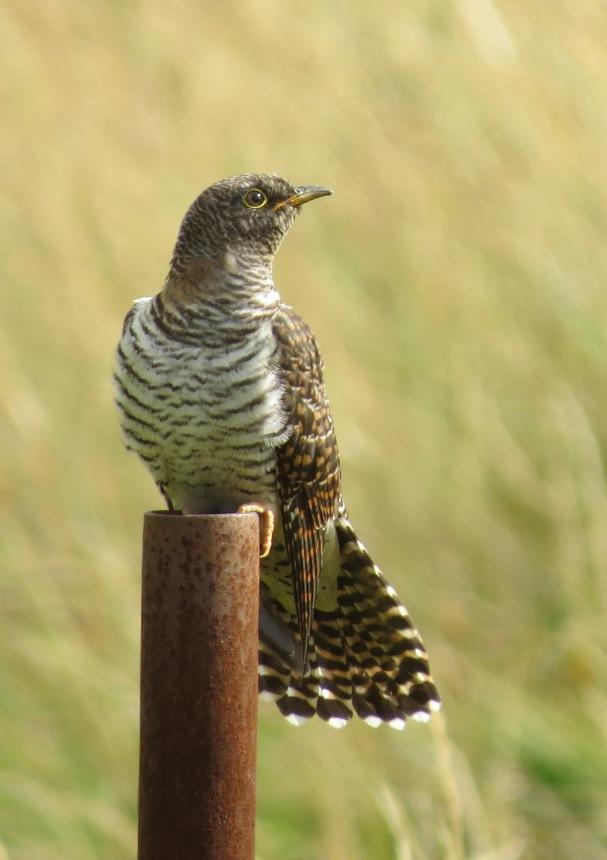 Cuckoo01
